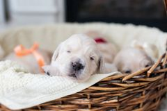 two weeks old cute golden retriever puppy in the basket. Sweet Golden retriever baby is trying to escape from the basket royalty free stock photography