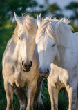 Portrait of two White Camargue horses. Parc Regional de Camargue. France. Provence. Stock Image