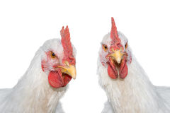Portrait of two white Rooster, or Chickens isolated Royalty Free Stock Photography