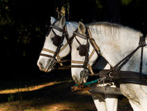 Portrait of two  white work horses  with harness Royalty Free Stock Photography