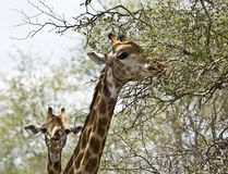 Portrait of two wild giraffes , Kruger National park, South Africa. Portrait of two wild giraffes, one eating leaves and the other one has a bird on its noze Stock Image