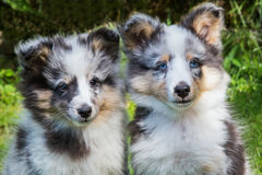 Portrait of two youg sheltie dogs Stock Photo