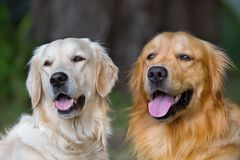 Portrait of two young beauty dogs Stock Photos