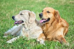 Portrait of two young beauty dogs Royalty Free Stock Photos