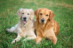 Portrait of two young beauty dogs Royalty Free Stock Photo