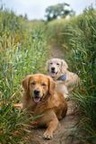 Portrait of two young beauty dogs Stock Image