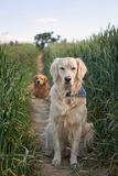 Portrait of two young beauty dogs Royalty Free Stock Photography