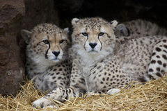 Portrait of two Young Cheetah Stock Photos