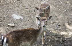 Portrait of two young fallow deers. stock photo
