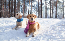 Portrait of two young golden retriever Royalty Free Stock Images