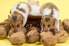 Portrait of two young hamster and walnuts. Stock Photography