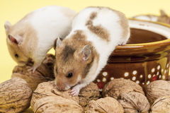 Portrait of two young hamster and walnuts. Royalty Free Stock Image