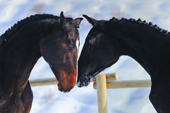Portrait of two young horses Royalty Free Stock Photography