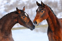 Portrait of two young horses Stock Photos