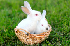 Portrait of two young rabbits Stock Photo