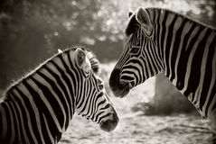 Portrait of two zebras Royalty Free Stock Image