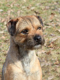 The typical Border Terrier Royalty Free Stock Photo