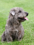 Irish Glen of Imaal Terrier on the green grass Royalty Free Stock Images