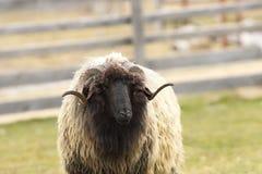 Portrait of ugly big ram Stock Image