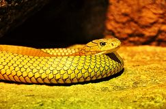 Portrait of an unidentified yellow snake. Closeup portrait of a yellow snake. Can anyone help me Stock Photo
