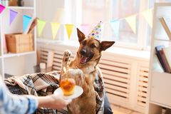 Birthday Cake for Dog. Portrait of unrecognizable woman giving Birthday cake to dog, copy space royalty free stock images