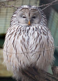 Portrait of Ural Owl Royalty Free Stock Photo