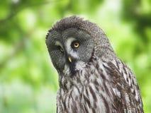 Portrait of ural owl Stock Image