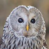 The Ural owl, Strix uralensis. Portrait of The Ural owl, Strix uralensis stock photos