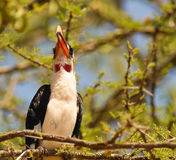 Portrait of a van der Decken´s Hornbill Royalty Free Stock Photography