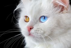 Portrait of a  varicoloured eyes white cat Royalty Free Stock Photos