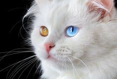 Portrait of a  varicoloured eyes white cat Royalty Free Stock Photos