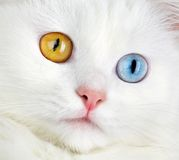 Portrait of a  varicoloured eyes white cat Stock Photos