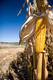 A portrait version isolated corn with farm. A portrait version isolated corn with farm in background. Small amount of room available for adding your own copy Royalty Free Stock Photography