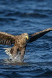 Portrait version of a white tailed eagle fishing Stock Photos