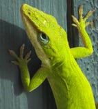 Portrait vert d'Anole Photo libre de droits