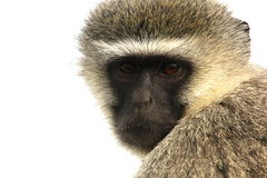 Portrait of a vervet monkey Royalty Free Stock Image