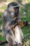 Portrait of a Vervet Monkey Royalty Free Stock Photography