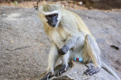 Portrait of a Vervet Monkey Royalty Free Stock Photos