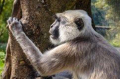 Vervet monkey. Portrait of a Vervet Monkey staring at something Royalty Free Stock Photography