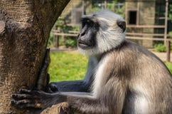 Vervet monkey. Portrait of a Vervet Monkey staring at something stock photography