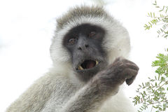 Portrait of a vervet monkey on a white background Stock Photography