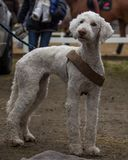 Portrait of a very cute and fluffy Bedlington terrier royalty free stock photo