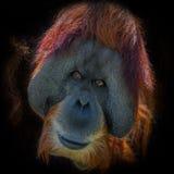Portrait of very old Asian orangutan on black background Royalty Free Stock Photo