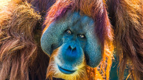 Portrait of very old Asian orangutan posing at front Royalty Free Stock Photo