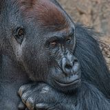 Portrait of very powerful but calm alpha male African gorilla stock photo