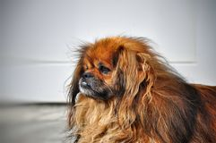 Portrait of a very sad shaggy red Pekingese dog Stock Photo