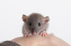 Portrait. Very small baby rat on a human hand Royalty Free Stock Image