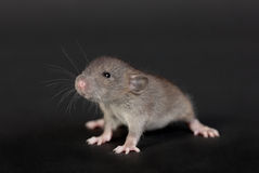 Portrait of a very young rat. On a black background Stock Photos