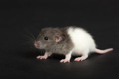 Portrait. Of a very young rat close up Stock Photos