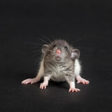 Very young rat. Portrait of a very young rat close up Royalty Free Stock Photo